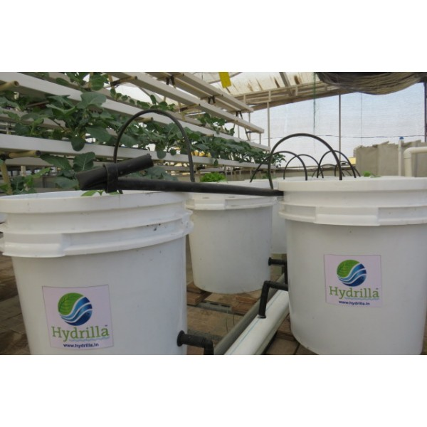 Hydrilla Food Grade with Siphon Dutch Buckets