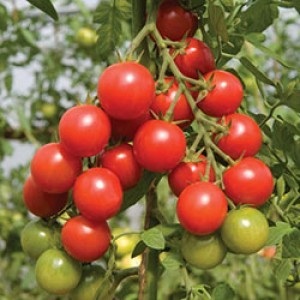 Hydroponics Tomato / Cherry Tomato Special Nutrients For Fruiting - 100 Liters