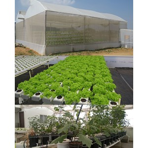 Hydroponic System - Linear NFT & Dutch Bucket System- For 300 sqft