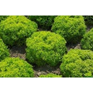 Green Leaf Lettuce Pack of 100 seeds